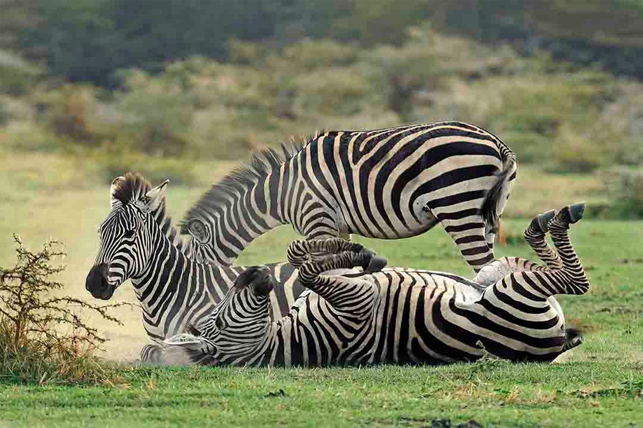 Safarini Zebra