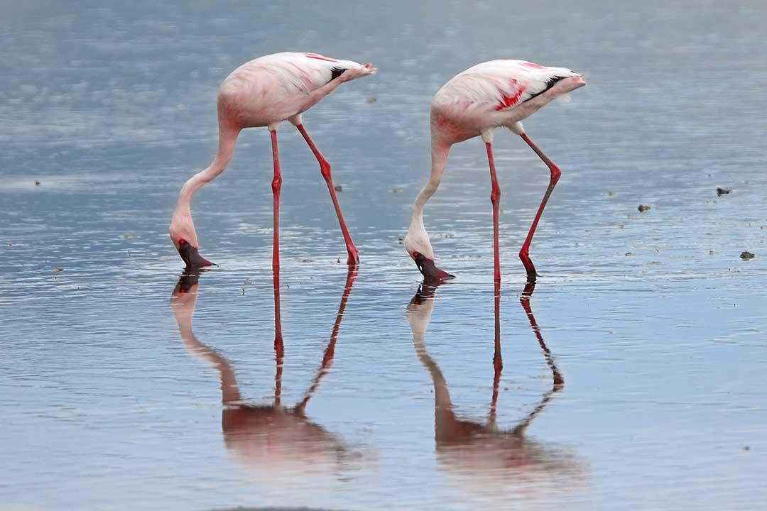 bird, lake, flamingo, pink, shollow water