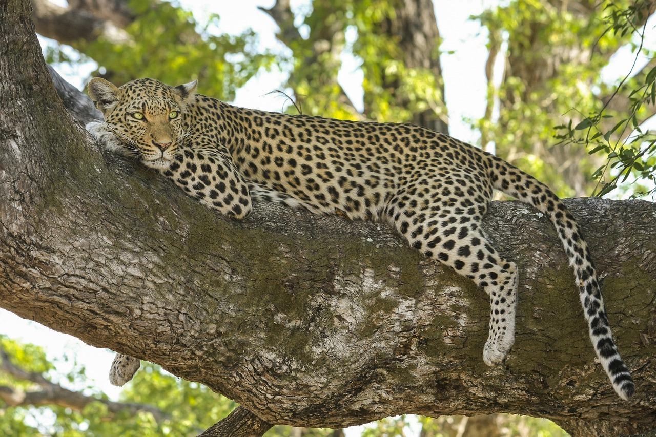 Leopard Tanzania Safari