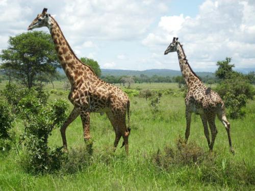 giraffes-222867_1280