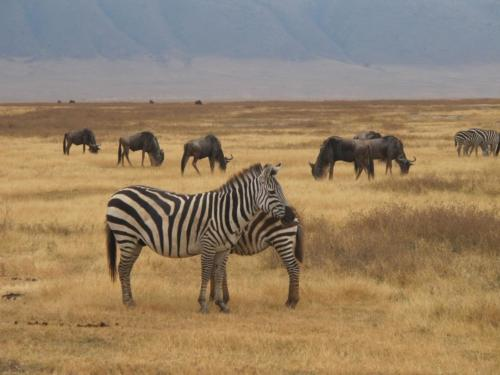 zebra-safari-2284147_1280