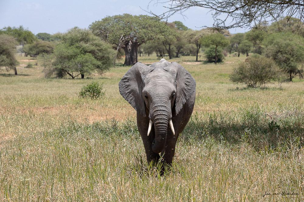elephant, africa, grass, tusk, safari